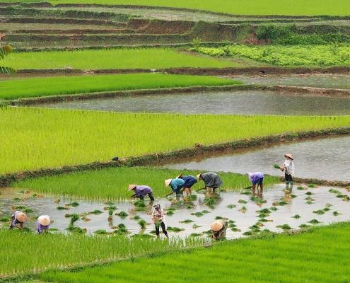 Travail dans les rizières à Bac Ha