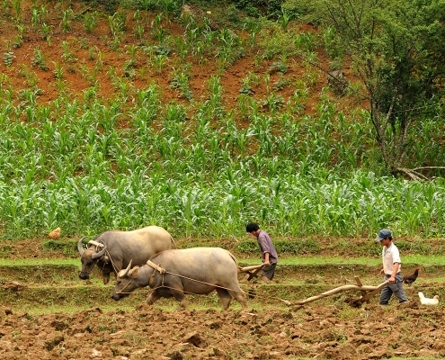 Travail dans les champs de Ha Giang
