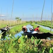 Les jardins flottants du lac Inlé