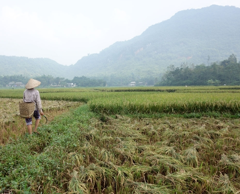 Dans les champs à Mai Chau