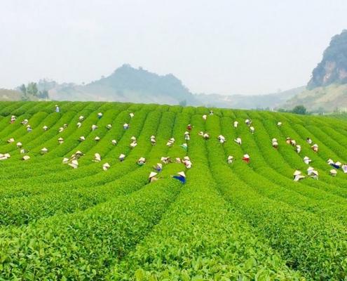 Champs de thé de Moc Chau