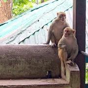 Les singes du Mont Popa