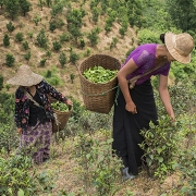 Plantations de thé de Pindaya