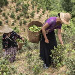 Cueillette du thé dans la région de Pindaya en Birmanie