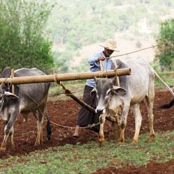 Travaux agricoles dans la région de Pindaya lors d'un trek au Myanmar
