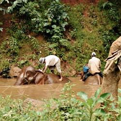 Le bain des éléphants dans la région de Mondol Kiri au Cambodge