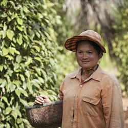 Cueillette du célèbre poivre de Kompot au Cambodge