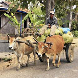 Chars à boeufs à Kratie au Cambodge