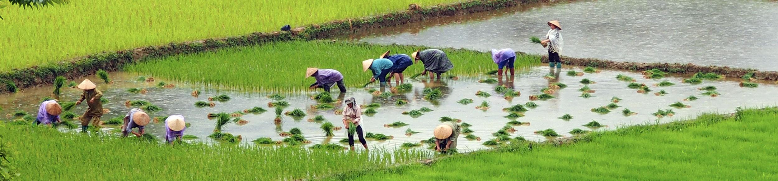 Repiquage du riz dans la région de Bac Ha