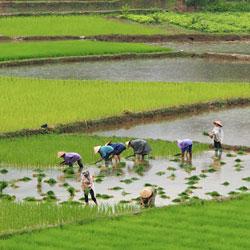 repiquage du riz dans les montagnes du nord Vietnam