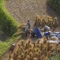 récolte du riz dans la région de Hoang Su Phi
