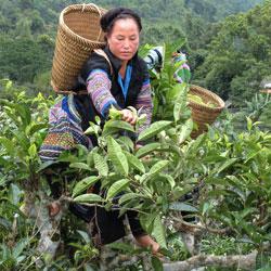 cueillette du thé dans la région de Hoang Su Phi