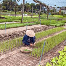 La culture des herbes parfumées du village de Tra Que proche de Hoi An