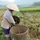 récolte du riz à Mai Chau au nord Vietnam