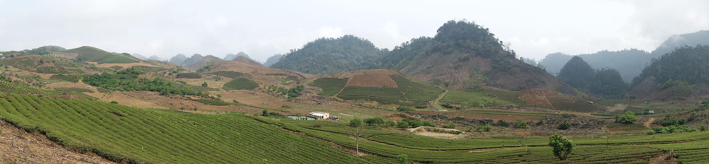 Paysage de théiers de la région de Moc Chau