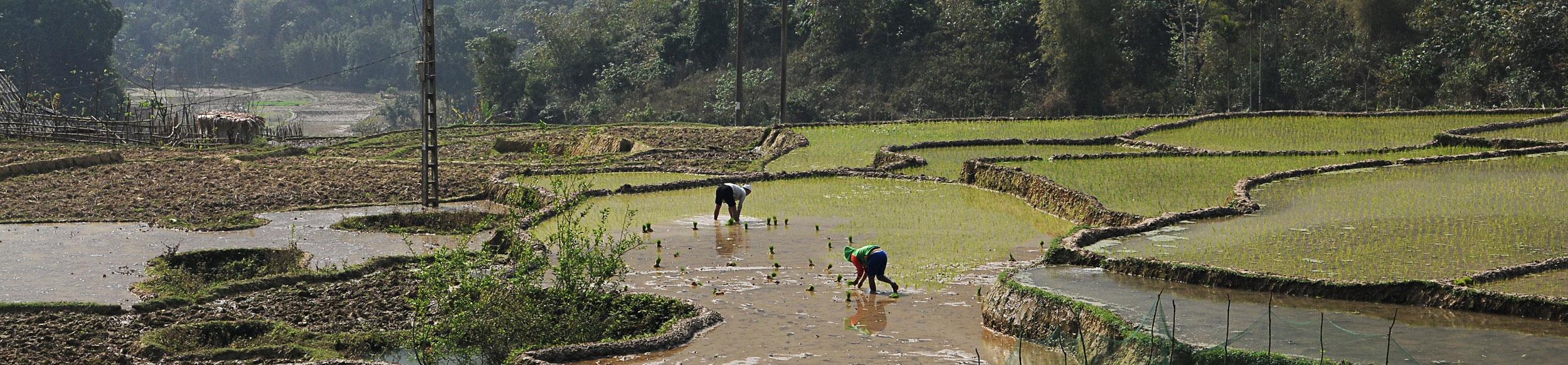 repiquage du riz dans la réserve de Ngoc Son Ngo Luong