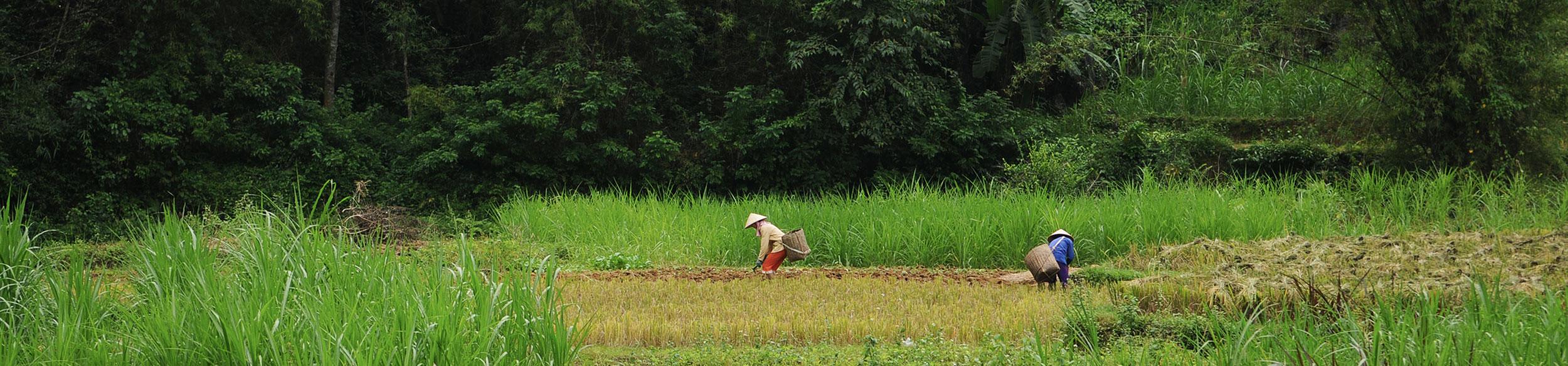 Récolte du riz dans la réserve de Pu Luong