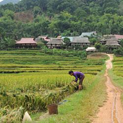 Récolte du riz près de Ban Nua dans la réserve de Pu Luong