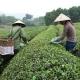 Cueillette du thé dans les collines du nord Vietnam