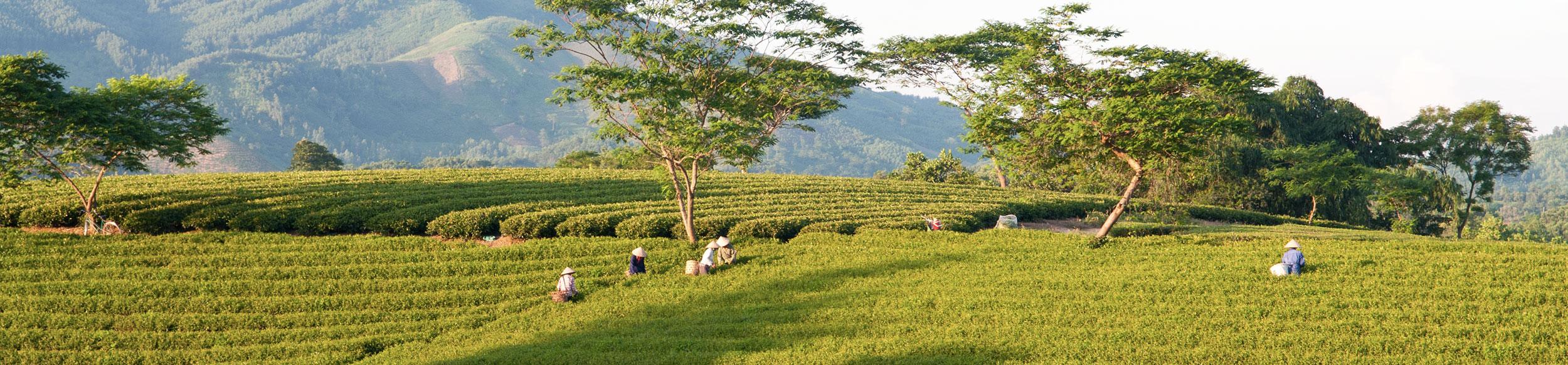 femmes récoltant des feuilles de thé dans la province de Tuyen Quang au nord Vietnam