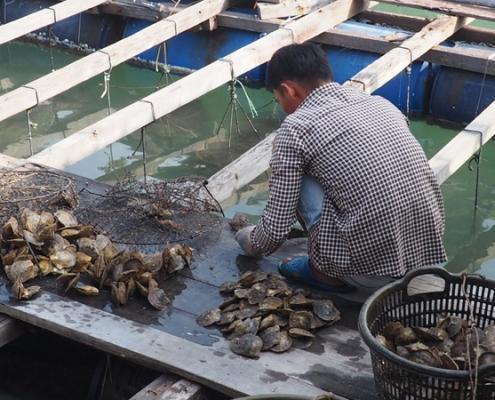 huitres perlières dans la baie d'Halong