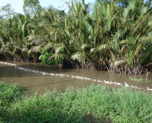 Canards qui se promènent dans les arroyos du delta du Mékong