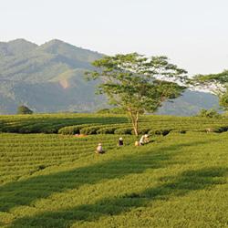 théiers de la région de Tuyen Quang au Vietnam